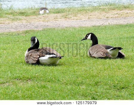 Two Canadian Geese Sitting In The Grass. Eye Closed, White Eye Lid Visible