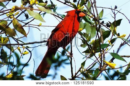 Red bird , Cardinal in the green tree against the blue sky'