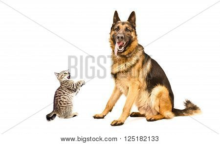 German Shepherd dog and funny kitten Scottish Straight isolated on white background