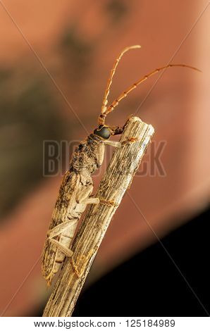 Longhorn beetle resting on the wooden handle at night
