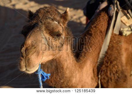 Camel on the Sahara Desert Merzouga Morocco.