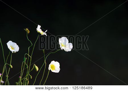 Color DSLR stock image of small, delicate white flowers, isolated on a black background. Horizontal with copy space for text