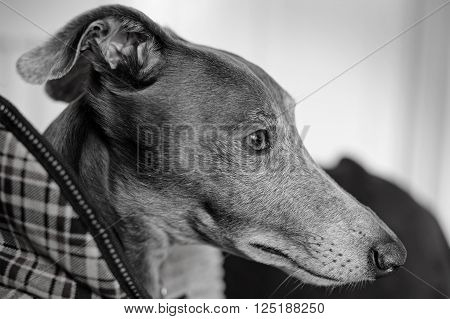 Black and white film effect portrait of a grey Whippet dog.Shallow d o f