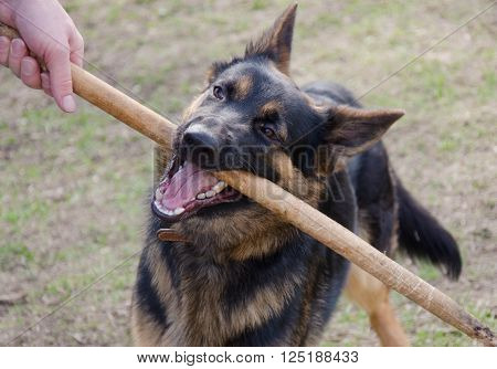 German shepherd chewing on a stick held by the owner (selective focus on the nose and mouth of the dog)