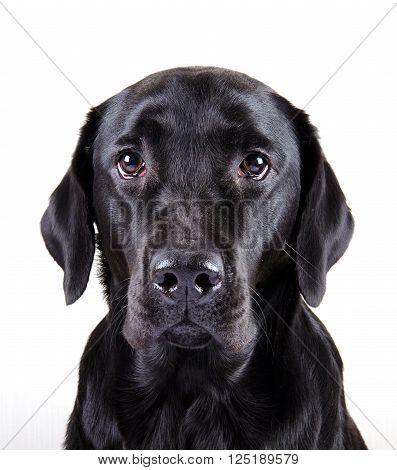 Portrait of a black Labrador Retriever (isolated on white)