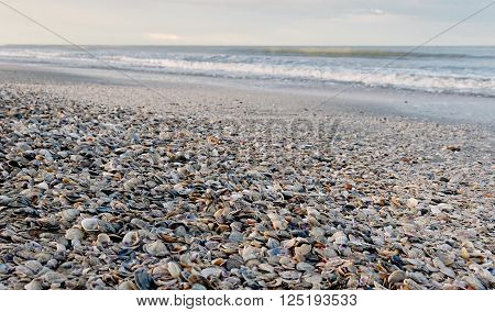 Cockleshells On The Shoreline