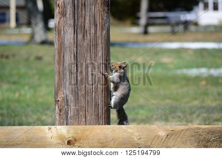 A squirrel climbing up a pole to look around.