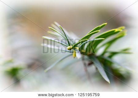 Needle Leaves A Common Juniper (juniperus Communis)