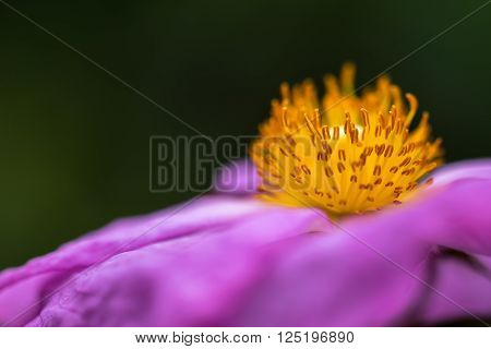 Macro detail of the crown of stamens of a flower as floral background with space for text