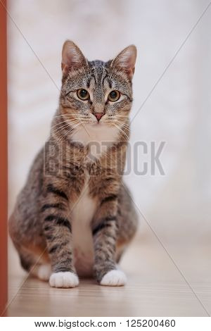 Domestic striped cat with white paws sits