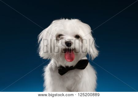 Closeup Portrait of Happy White Maltese Dog Looking in Camera isolated on blue background