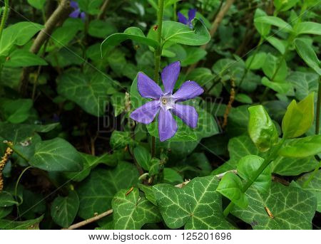 Periwinkle Flower Lesser periwinkle (Vinca minor) flowers with Common Ivy (Hedera helix) in the background