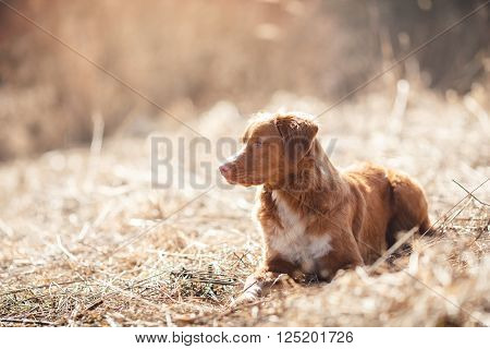 Dog Nova Scotia Duck Tolling Retriever  Walking In Spring Park