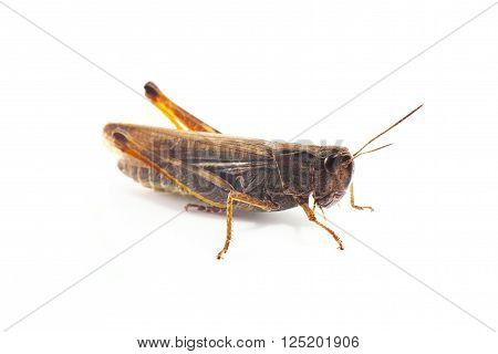 Grasshopper in front of  isolated on white background
