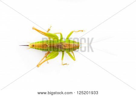 Macro Image Of A Grasshopper Isolated On White
