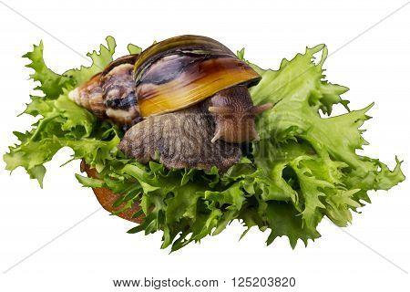Achatina snail eats a green salad leaves