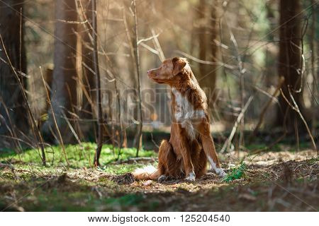 Dog Nova Scotia Duck Tolling Retriever  Walking In Spring Forest