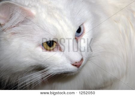 Portrait Of Turkish Angora Cat