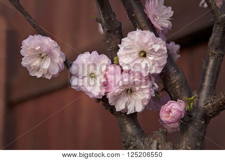 Almond tree branch with pink open flowers on background of blue clear sky. Romance look. View upwards.