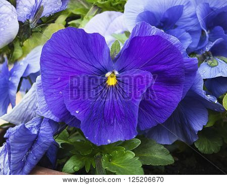 Blue and violet pansies flowers in garden with dew drops on petals. Closeup. View from top. Slightly blurred background. Suitable background for cards.