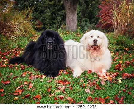 a newfoundland and a a great pyrenees laying in a local park during fall with the autumn leaves on the grass around them