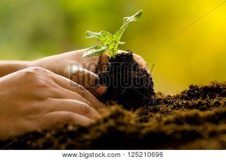 Farmer planting sapling into soil over sunlight in morning time