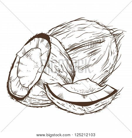 Coconut vector isolated on white background. Engraved vector illustration of coconut. Coconut in vintage style.