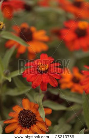 Red orange cosmos daisy blooms in a botanical garden in Laguna Beach, Southern California, United States