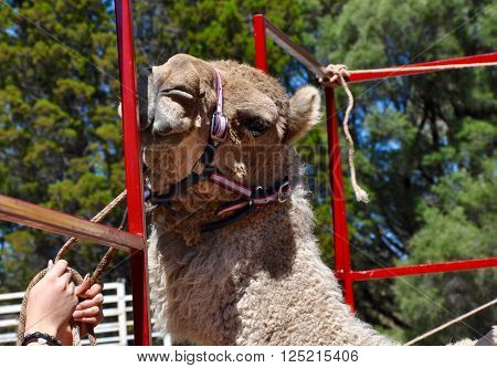 Fluffy camel with head and harness squeezing into a metal outdoor stall with hands and green background flora.