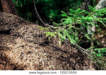 Anthill of pine needles under the branch of spruce .