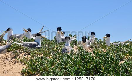 Crested Terns nesting atop vegetated coastal dunes under a clear blue sky at Penguin Island in Western Australia.