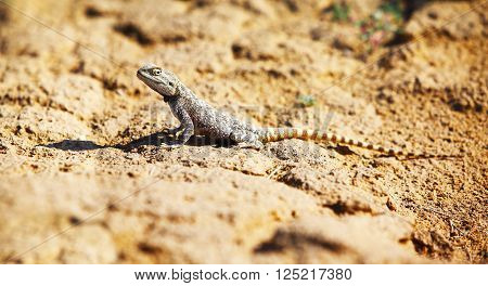 Trapelus sanguinolentus, lizard in Kazakhstan steppe, close up