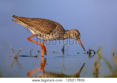 Water Wading Common Redshank