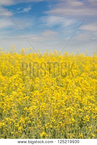 Yellow blooms of canola field, with a partly cloudy sky background