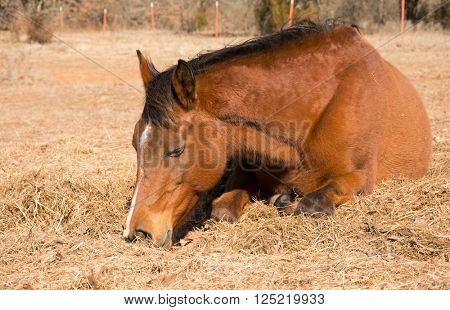 Red bay horse sleeping on hay in winter pasture on a sunny day