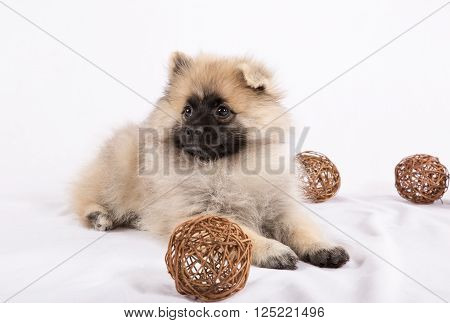 Puppy Pomeranian is lying with balls on a white background