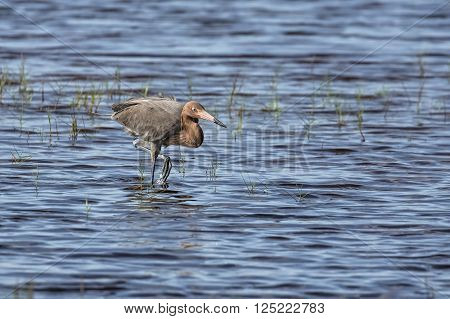 A reddish egret stalks fish while wading in a shallow pond of a Florida wildlife refuge.