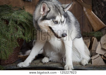 Purebred Siberian Husky dog with hunting accessories indoors