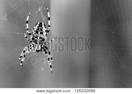 Spider spinning in black - A magnificent spider before desurated background