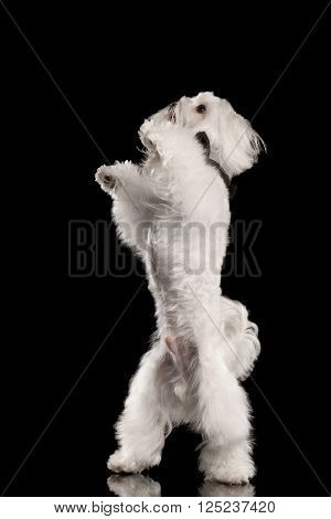 White Maltese Dog Standing on Legs and Raising up Paws isolated on Black background Front view