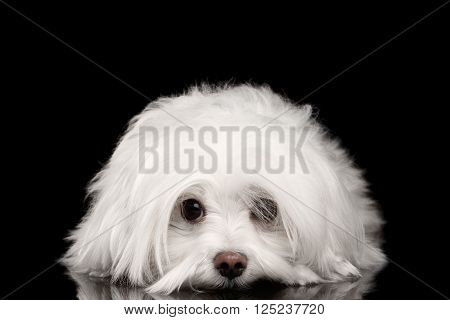 Closeup White Maltese Dog Lying and with sad eyes Looking in Camera isolated on Black background