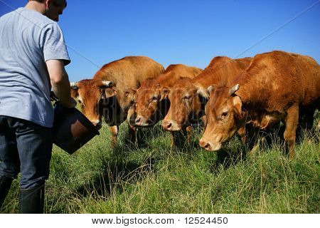 Breeder feeding cattle