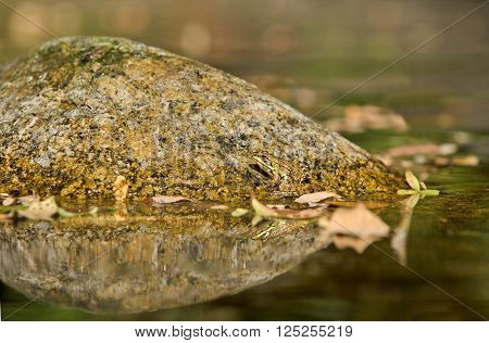 Lonely frog on a rock in water ready to jump. Extremadura Spain