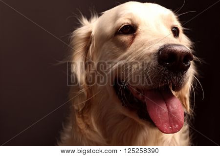 Muzzle of golden retriever on black background, close up