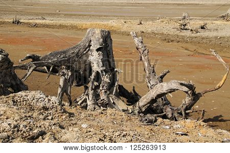 stumps of dead trees with revealed roots on the bottom of drying pond