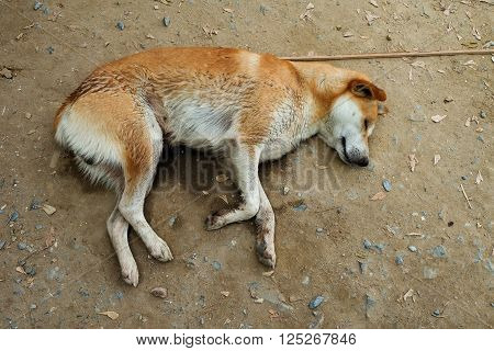 Brown dog Homeless Sleeping on the ground