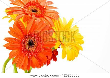 Gerber Daisy isolated on white background .