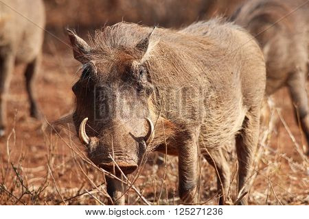 Phacochoerus africanus. Phacochoerus is a genus of wild pigs in the family Suidae, known as warthogs. They are common in the Kruger National Park, South Africa. Here is a warthog gazing straight into the camera as he looks up from grazing.