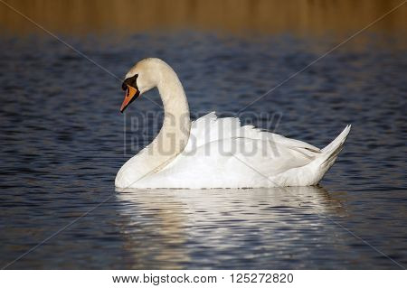 Single dumb swan floating on the lake