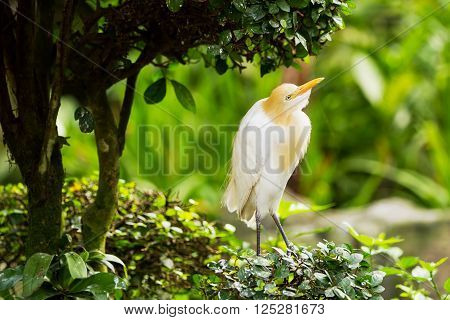 The cattle egret (Bubulcus ibis) a cosmopolitan species of heron. Malaysia.